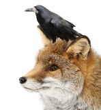 Old Red fox, Vulpes vulpes, 15 years old stock image
