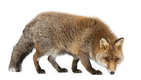 Old Red fox, Vulpes vulpes, 15 years old Royalty Free Stock Photography