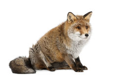 Old Red fox, Vulpes vulpes, 15 years old Royalty Free Stock Photos