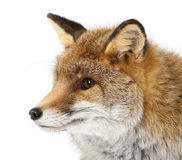 Old Red fox, Vulpes vulpes, 15 years old Stock Images