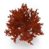 Old Red Oak Tree Autumn on white. 3D illustration Royalty Free Stock Photo