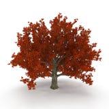 Old Red Oak Tree Autumn on white. 3D illustration. Old Red Oak Tree Autumn on white background. 3D illustration Stock Photo