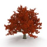 Old Red Oak Tree Autumn on white. 3D illustration Royalty Free Stock Photos