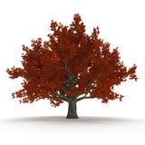 Old Red Oak Tree Autumn on white. 3D illustration Stock Photo