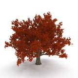 Old Red Oak Tree Autumn on white. 3D illustration. Old Red Oak Tree Autumn on white background. 3D illustration Stock Images