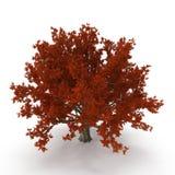 Old Red Oak Tree Autumn on white. 3D illustration. Old Red Oak Tree Autumn on white background. 3D illustration Royalty Free Stock Photo