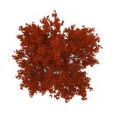 Old Red Oak Tree Autumn on white. 3D illustration. Old Red Oak Tree Autumn on white background. 3D illustration Royalty Free Stock Images