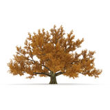 Old Red Oak Tree Autumn on white. 3D illustration. Old Red Oak Tree Autumn on white background. 3D illustration Royalty Free Stock Photography
