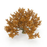Old Red Oak Tree Autumn on white. 3D illustration. Old Red Oak Tree Autumn on white background. 3D illustration Royalty Free Stock Photos