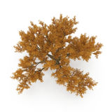 Old Red Oak Tree Autumn on white. 3D illustration. Old Red Oak Tree Autumn on white background. 3D illustration Stock Photography