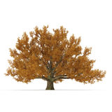 Old Red Oak Tree Autumn on white. 3D illustration. Old Red Oak Tree Autumn on white background. 3D illustration Stock Image