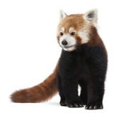 Old Red panda or Shining cat, Ailurus fulgens. 10 years old, in front of white background Stock Image