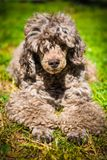 Old red poodle dog on nature royalty free stock image
