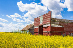 Old red shed sitting in a yellow canola field. Stock Photos