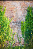 Old red wall with climbing plants Stock Photo