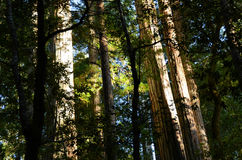 Old Redwood Grove Royalty Free Stock Images