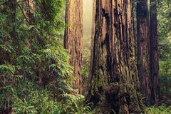 Old Redwood Trees Royalty Free Stock Image