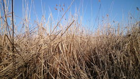 Old reed stock footage