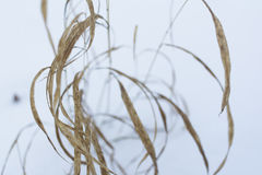 Old reed during winter Royalty Free Stock Photography