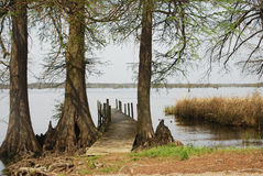 Old Reelfoot Fishing Pier. An old fishing pier is flanked by cypress trees at Reelfoot Lake State Park in North West Tennessee stock image