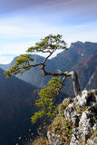 Old relic pine on Sokolica mountain Royalty Free Stock Photography