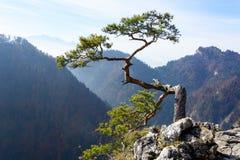 Old relic pine on Sokolica mountain Royalty Free Stock Photos