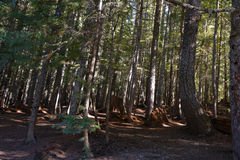 Old relict coniferous forest with sloping trees Royalty Free Stock Photo