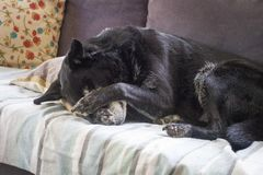 Tired dog sleeping. Old retired farm dog sleeping on furniture stock images