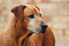 Old Rhodesian Ridgeback dog portrait Stock Photos