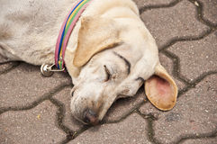 Old roadside dog. Royalty Free Stock Images