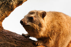 An Old Rock Hyrax Royalty Free Stock Images