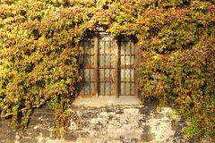 The old rock wall, overgrown with ivy Royalty Free Stock Images