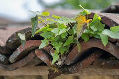 Old roof tiles with ivy , close up Stock Images