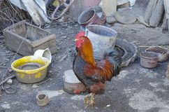 Old rooster in a farmyard Royalty Free Stock Photography