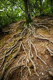 Old root Royalty Free Stock Image