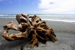 Old root on the beach. Floating root on the beach, New Zealand, 200711 Royalty Free Stock Photography