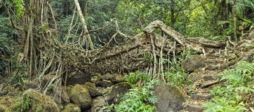 Old root bridge in India Royalty Free Stock Image