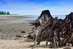 Old  root stumps were stranded. On the beach Royalty Free Stock Photos