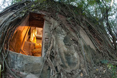 Old root tree around ancient Thai church. Royalty Free Stock Photo