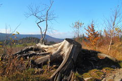 Old root. Old tree root in the mountains. Autumn period. Beskid Śląski, Poland Royalty Free Stock Image