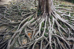 Old roots Stock Photo