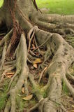 Old roots Royalty Free Stock Photos