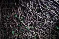 Old Roots And New Buds Royalty Free Stock Photos