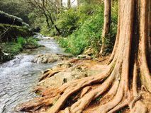 Old roots by the brook royalty free stock photography