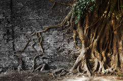 The old roots of tree come inside to wall Stock Photo