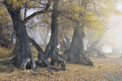 Old roots in a veil of a fog. Whimsical crooked roots of old trees in early morning fog Stock Photo