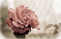 Old rose. A rose with a vintage look Stock Images