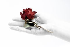 Old rose Royalty Free Stock Photos