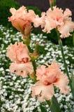 Old rose iris. Blooming old rose iris flowers Royalty Free Stock Images