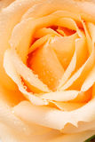 Old rose rose Royalty Free Stock Photography